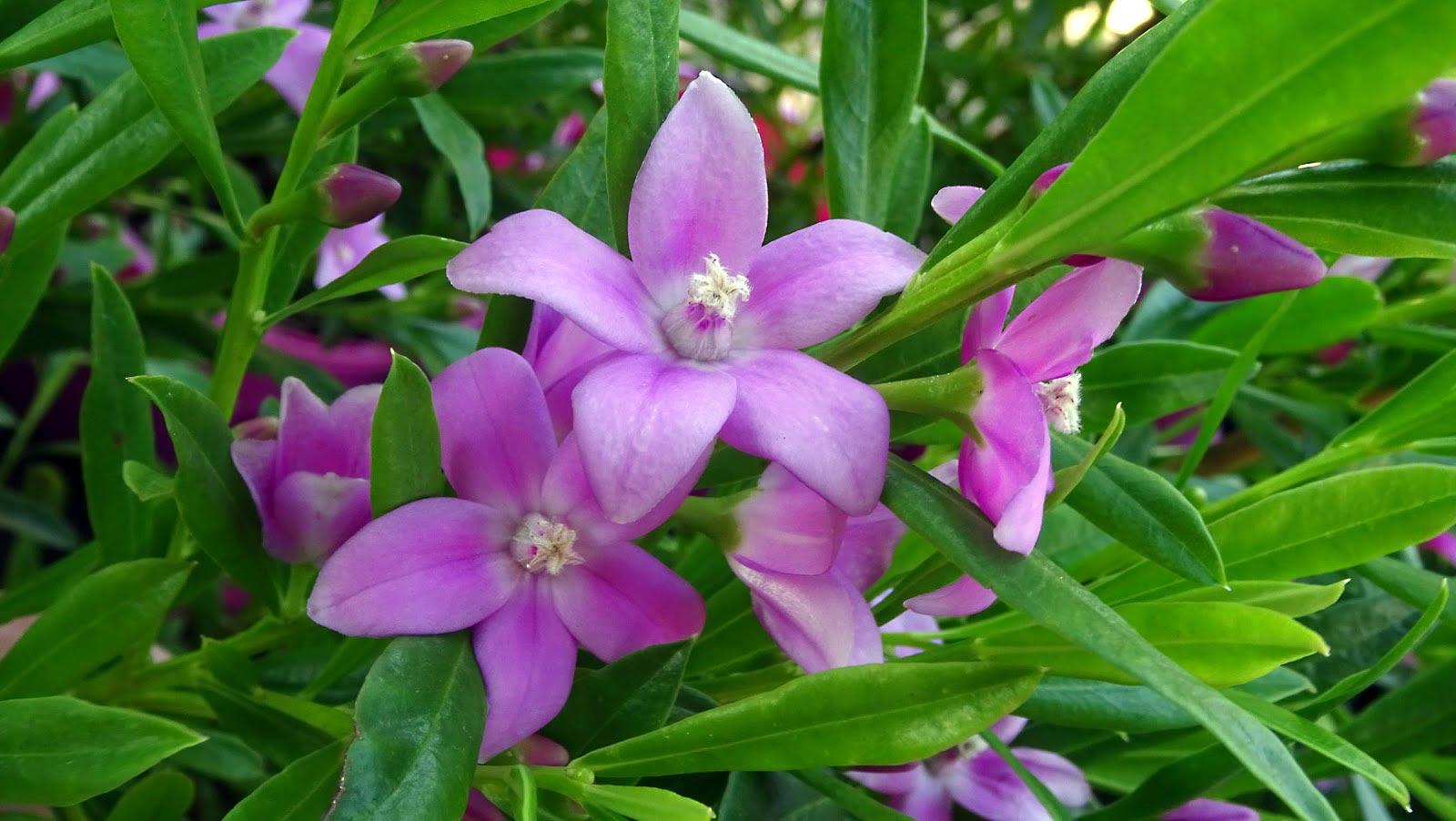 Come funziona la floriterapia?  I fiori australiani