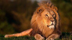 sovrano leone numero 8 leader potere